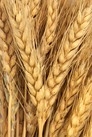 wheat as background