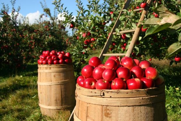 applepickingbasket